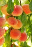 последнее лето персиков стоковые фото