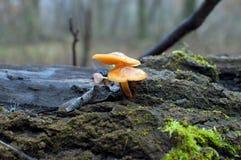 Последнее падение подняло апельсин 2 грибов Стоковая Фотография