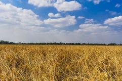 Последнее поле corp в Индии стоковые фотографии rf