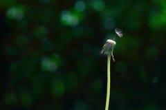 Последнее семя одуванчика Стоковая Фотография