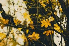 Последние золотые листья Стоковое фото RF