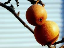 Последние яблоки зимы перед шторками окна Стоковое Фото