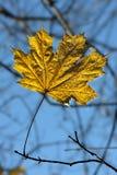 последний клен листьев стоковое фото rf