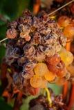 Последний сбор виноградин для вина Bolgheri Стоковые Фотографии RF