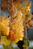Последний сбор виноградин для вина Bolgheri Стоковое Фото