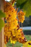 Последний сбор виноградин для вина Bolgheri Стоковая Фотография RF