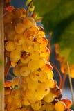 Последний сбор виноградин для вина Bolgheri Стоковая Фотография