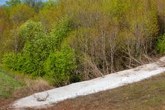 Последний снег, зеленые деревья стоковые изображения rf