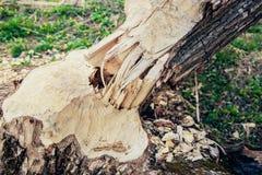 Последствие нашествия бобров стоковая фотография rf