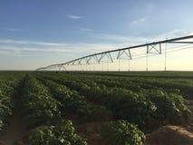 После полдня в зеленом аграрном поле стоковое фото