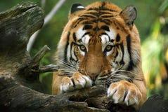 послушный тигр Стоковое Изображение RF