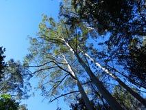 Посмотрите вверх - голубые камеди поднимают к голубому небу Стоковые Изображения RF