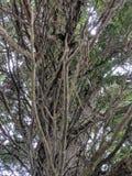 посмотрите вверх дерево кедра стоковое изображение rf