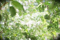 Посмотрите вверх под большим деревом, см. свет от яркого неба на яркий день Стоковые Фото