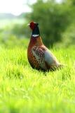 посмотрите вне фазана Стоковые Фото