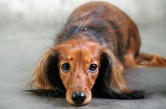 Посмотрите в глаза собаки Стоковое Изображение RF