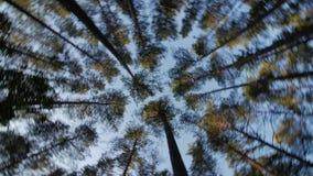 Посмотрите до голубое небо в древесных зеленях через высокие деревья, вращая и мечтая акции видеоматериалы