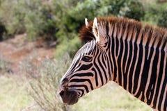 Посмотрите меня - зебра Burchell Стоковые Изображения RF