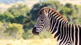 Посмотрите меня - зебра Burchell Стоковая Фотография RF
