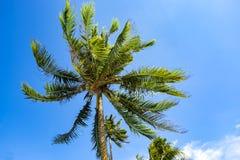 Посмотрите, что вверх взгляд кокосовой пальмы показать красивую синь sk Стоковое Изображение RF