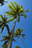Посмотрите, что вверх взгляд кокосовой пальмы показать красивую синь sk Стоковые Фотографии RF