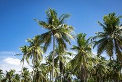 Посмотрите, что вверх взгляд кокосовой пальмы показать красивую синь sk Стоковая Фотография