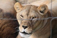 Посмотрите льва стоковые фотографии rf
