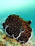 поставленное точки золото flatworm Стоковая Фотография