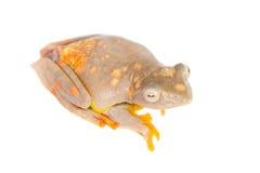 2-поставленная точки древесная лягушка летая, rhodopus Rhacophorus, на белизне Стоковая Фотография