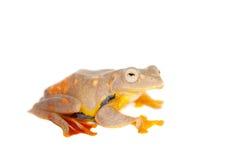 2-поставленная точки древесная лягушка летая, rhodopus Rhacophorus, на белизне Стоковые Фото