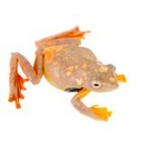 2-поставленная точки древесная лягушка летая, rhodopus Rhacophorus, на белизне Стоковое Фото
