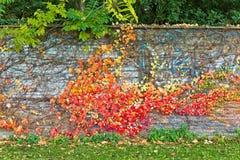 Постаретая каменная стена при листья плюща прикрепленные в осени Стоковое Фото