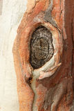 Постаретый узел на дереве стоковое изображение rf