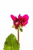 Постепенно раскройте малиновый георгин цветка стоковое изображение