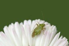 Постельный клоп на белом цветке Стоковые Изображения