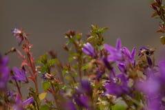 Постоянные цветки bluebells стоковые изображения rf
