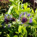 Постоянный Cornflower стоковое фото rf