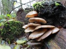 Последние грибы устрицы - serotinus Panellus стоковое фото rf
