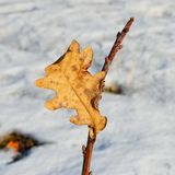 Последние лист дуба на ветви Стоковое Изображение