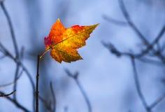 последний клен листьев Стоковая Фотография RF