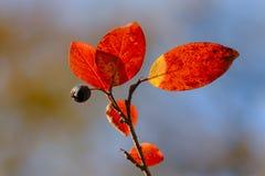 Последняя ягода Стоковая Фотография RF