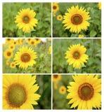 Последовательность фото солнцецветов стоковое фото rf