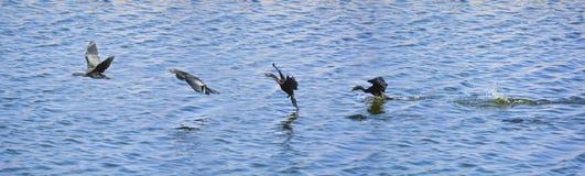 Последовательные рамки подныривания птицы баклана в озеро для f Стоковая Фотография