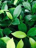 После дождя на зеленых лист Стоковое Изображение