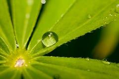 После дождя. Падения чистой воды на зеленых листьях. Стоковое Фото