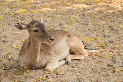 После полудня кресла оленей расслабляющее Стоковые Фотографии RF