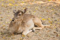 После полудня кресла оленей расслабляющее Стоковое фото RF