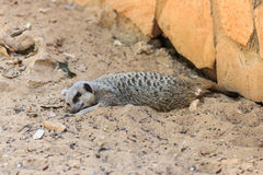 После полудня спать Meerkats на песке под солнцем Стоковые Изображения