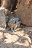 После полудня Meerkats сидя на песке под солнцем Стоковое Изображение