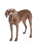 Послушливое положение собаки Weimaraner Стоковое Изображение